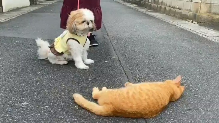 シーズーさんは猫さんがお好き♡ラブコールを送る姿がかわいいと話題に♪