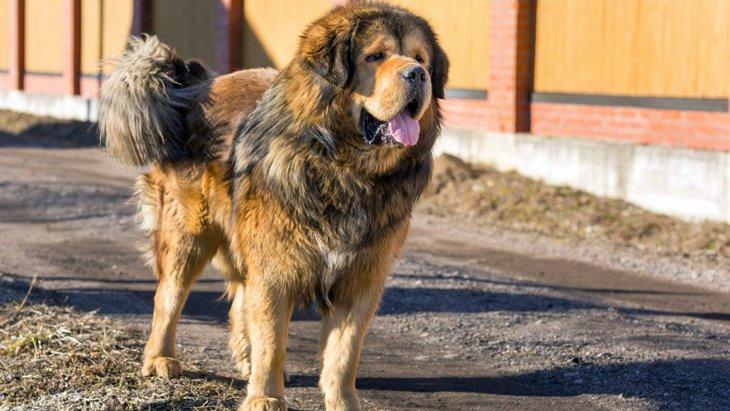 チベタンマスティフの性格や特徴、飼い方から子犬の価格まで