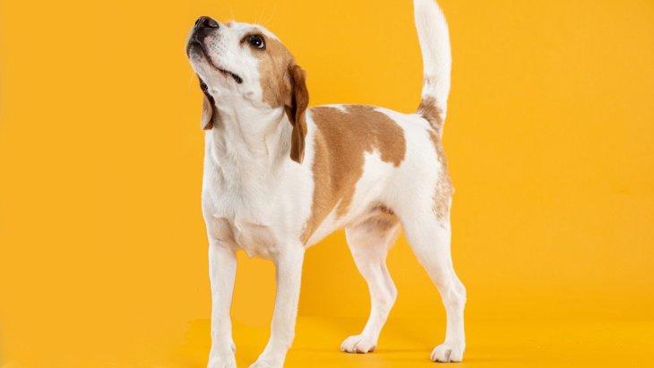 犬が『しっぽをブンブン振る』時の7つの心理