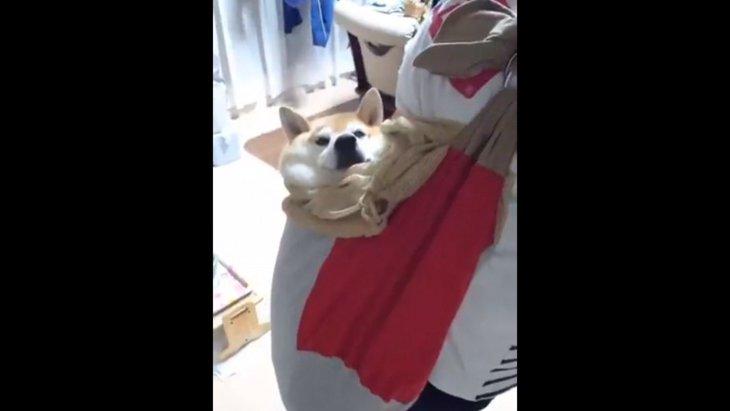 ゲリラ豪雨でパニック!抱っこ紐に収まる柴犬さんに思わず胸キュンと話題