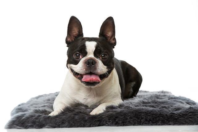 ボストンテリアの犬種情報