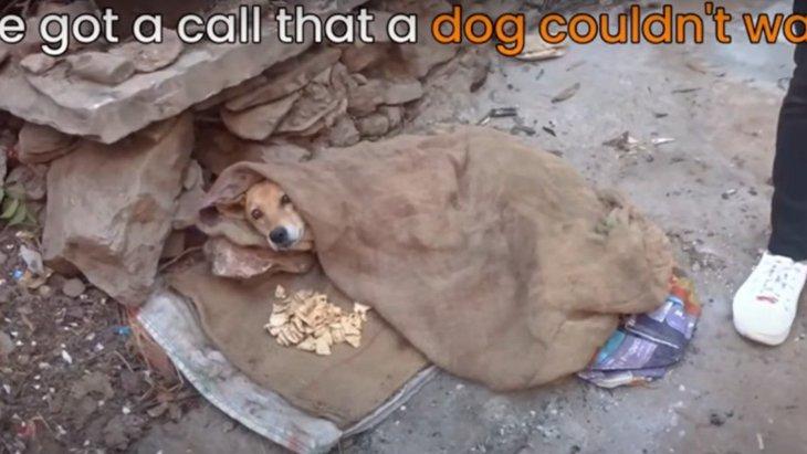 車に轢かれて後足が麻痺した野良犬の救助。数週間のリハビリの結果…