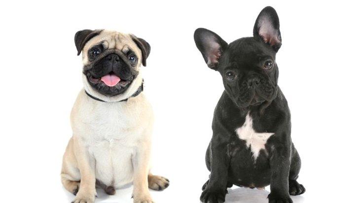 パグとフレンチブルドッグの違いって何?性格、寿命、価格などを解説