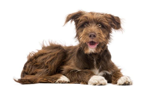 ミックス犬の平均寿命が純血種より短い理由