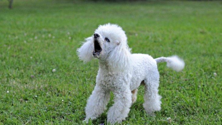犬がすぐに吠えてしまう…どうやって止めさせればいい?吠える理由と適切な対処法とは?