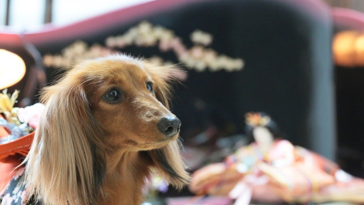 犬がいる家庭での「ひな祭り」において注意したいこと
