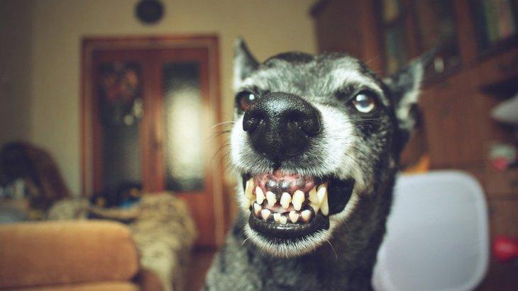 犬が飼い主に向かって威嚇してくる心理3つ