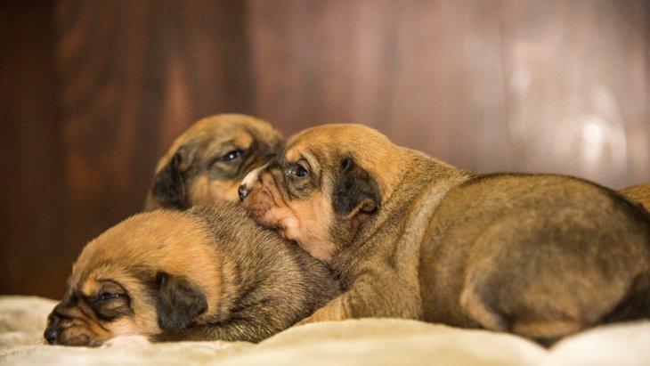 犬の交配(交尾)の正しい知識 発情周期や繁殖期の注意点