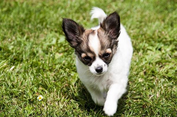 チワワと相性のいい犬種と多頭飼いについて