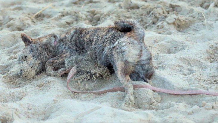 【話題】愛犬を海に連れて行ったら『きなこもち』に変身を遂げた件