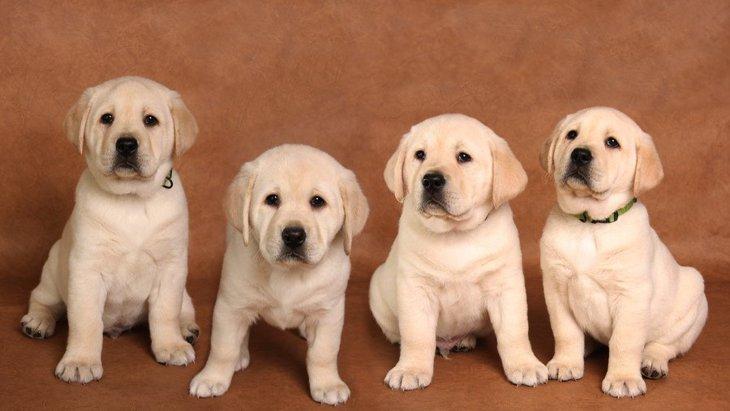 介助犬養成のためにアメリカの大学でスタートした「子犬の幼稚園」