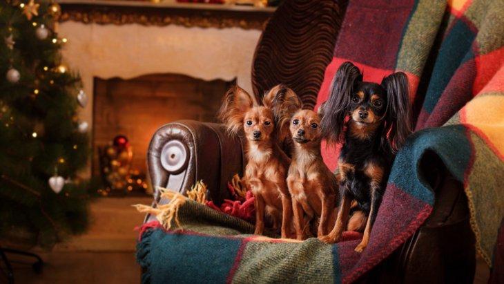 『世界で最も小さい犬種』5選!日本ではなかなか見れない珍しい犬種も