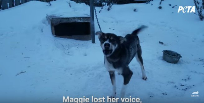 アラスカの犬ぞりレースの闇…過酷な飼育環境から救出されたマギーのお話