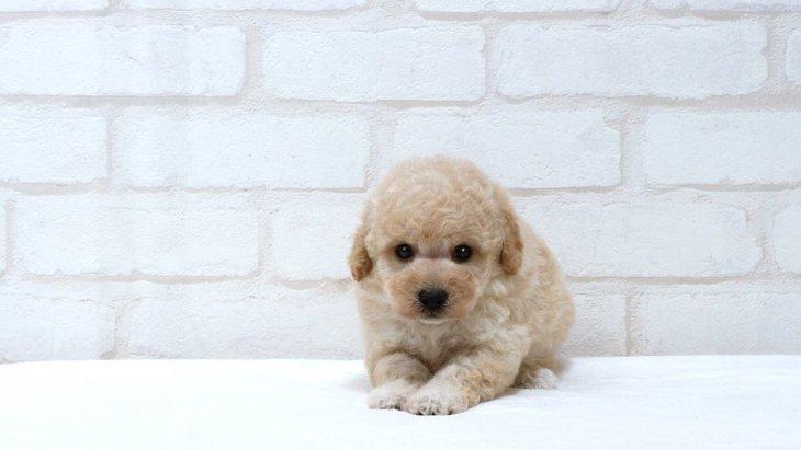 犬を小さく育てたい 栄養失調と発育不全について