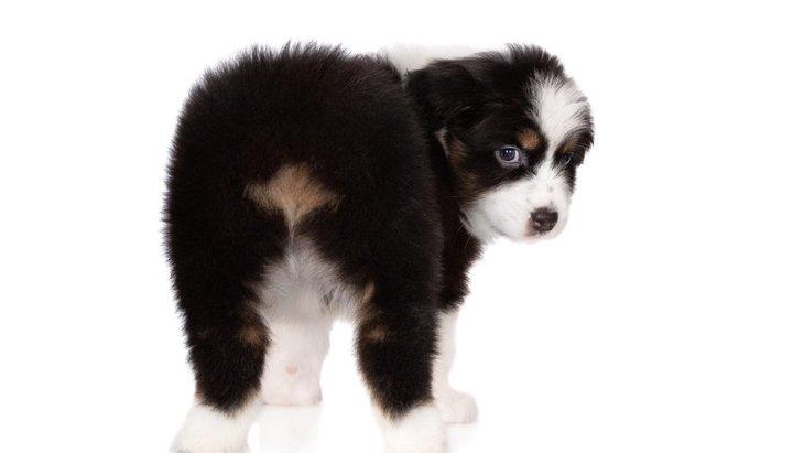 犬が『おしりを振っている』時の気持ちとは?3つの心理と注意すべき病気を解説