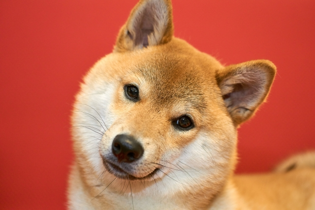 柴犬は小型犬?中型犬?大きさの基準が曖昧なワケ