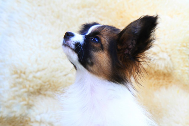 特定の犬種を対象にした「単犬種レスキュー」のメリット4つ