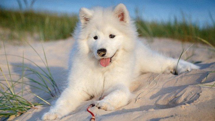 『暑さに弱い犬種』5選!注意すべきこと・絶対NG行為まで解説