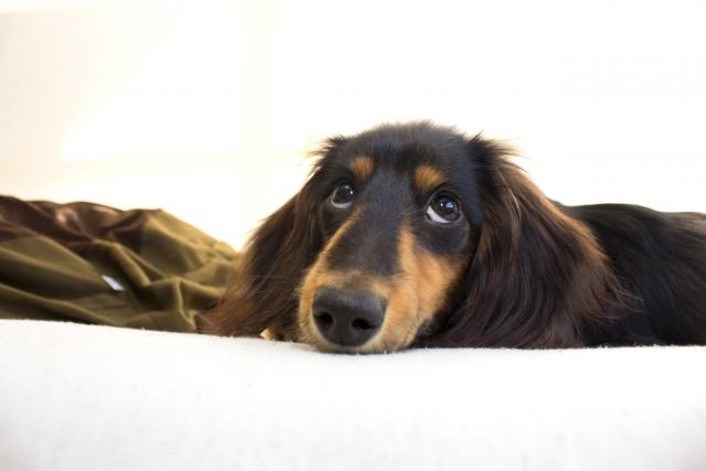 鼠径ヘルニアは子犬に多い病気!症状と再発のリスク