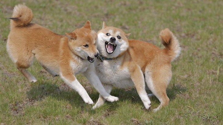 室内犬が喧嘩をしてしまう理由4つ!正しい対処法や『じゃれあい』との違いまで