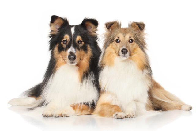 シェットランドシープドッグの犬種情報
