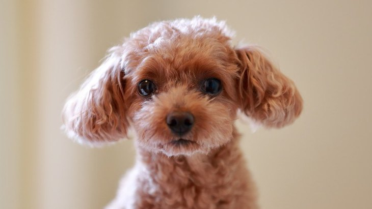 4ヶ月のトイプードルの子犬のしつけ方や注意点について