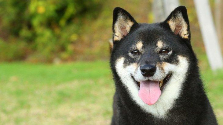日本犬が海外で人気な理由5つ