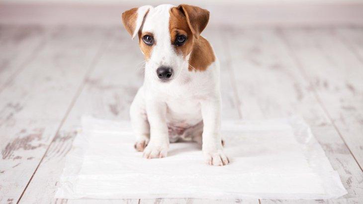 犬がトイレを失敗する原因とやりたいトレーニング