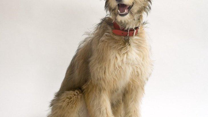 ラーチャーってどんな犬?性格と特徴、寿命や値段まで