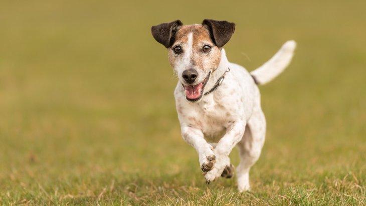 犬が『スキップ』している時の6つの心理!実は怪我や病気が隠れていることも?