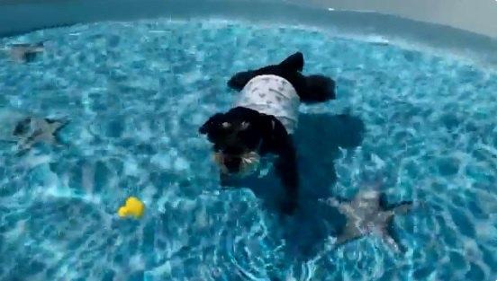 【可愛い】独特な漂流スタイルでプールを堪能するミニシュナさん♡