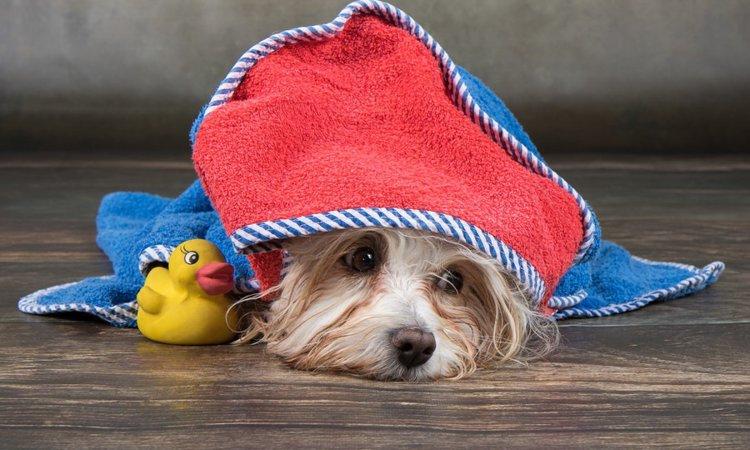 犬のシャンプー後「自然乾燥」がNGな理由
