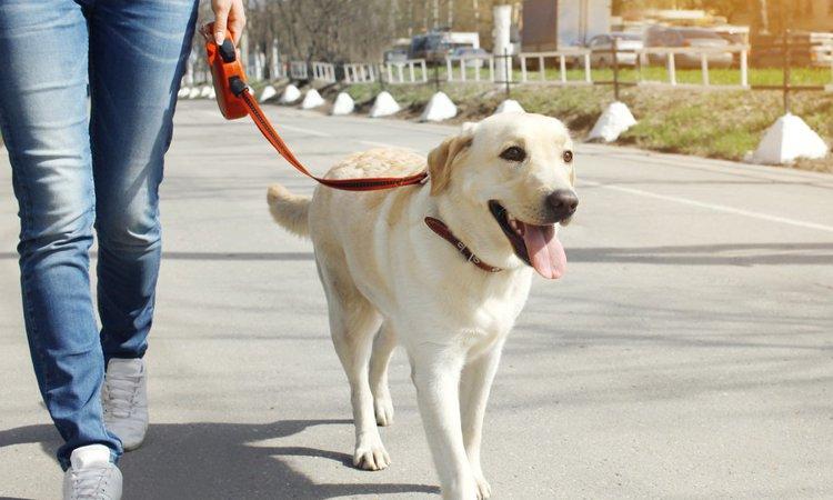 犬が散歩中に飼い主より前に行くときの心理とは?