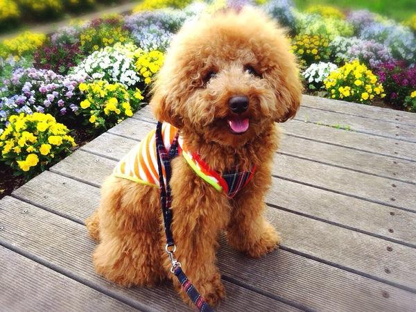 トイプードルの子犬の選び方!覚えておきたい性格・健康チェックポイント