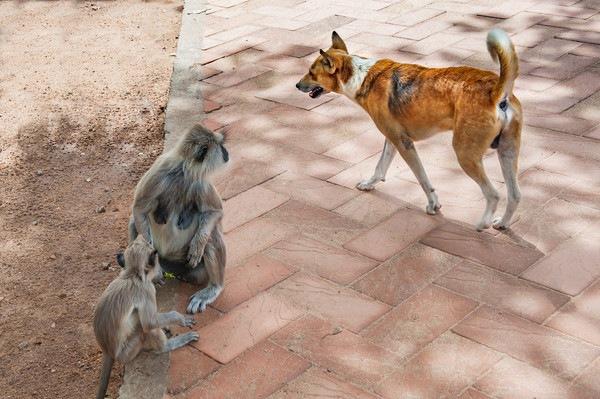 モンキードッグは猿から人を守る犬!適した種類から訓練の費用まで