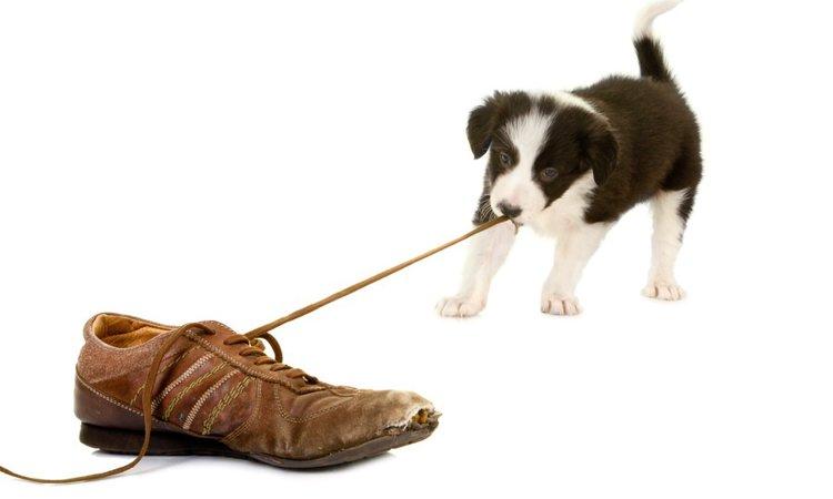 愛犬が飼い主の靴を噛むときの3つの気持ち