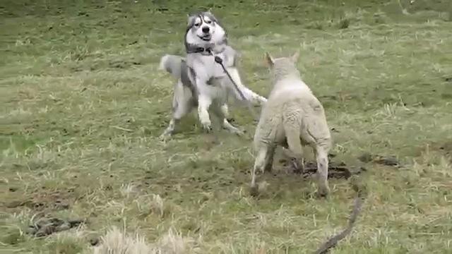 2匹は仲良し!一緒に遊ぶハスキーさんと羊さん