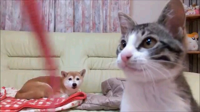 何で…!寝てる間に子猫と飼い主さんが遊んでいた姿を見てしまった柴犬
