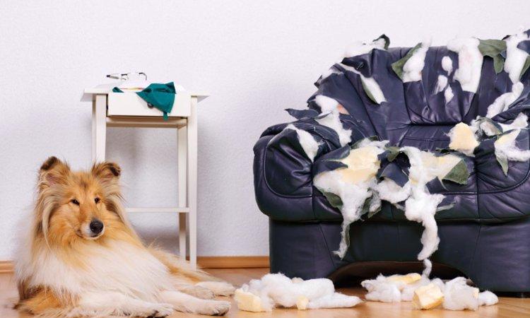 犬が家具を噛む理由とは?やめさせる方法まで