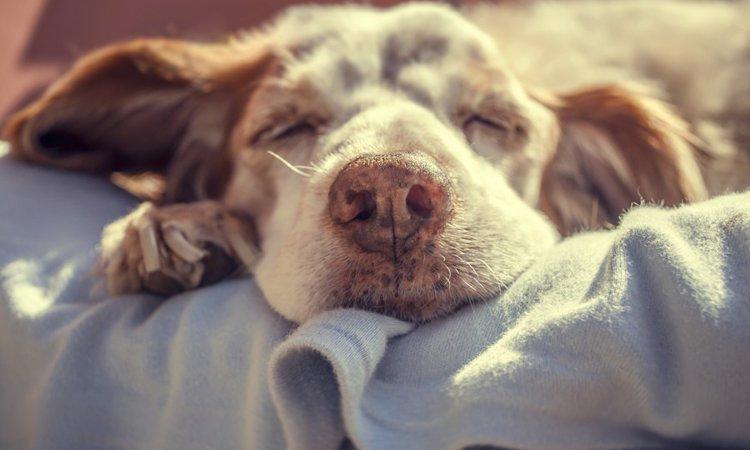 犬の老衰の症状と家庭できるケアについて
