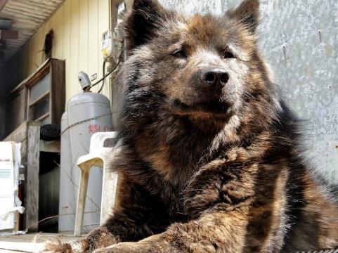 甲斐犬について ~性格や特徴と飼い方~