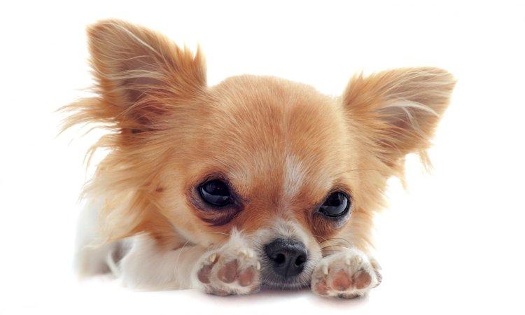 チワワやトイプードルが人気犬種である事実の裏側にはこんな闇も存在する