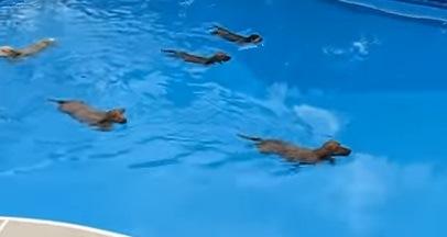 短い足でスイスイ!ミニチュアダックス達による水泳大会!