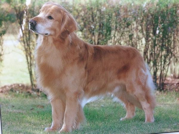 飼いやすい大型犬について