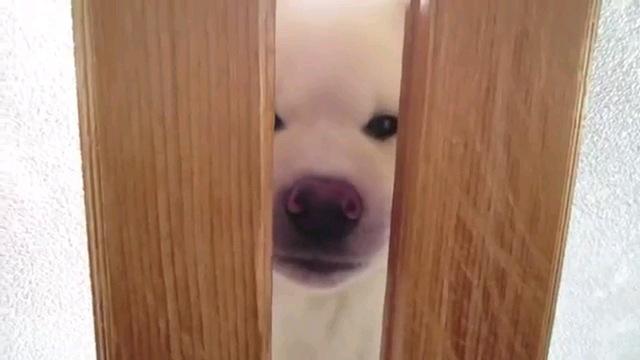 開けてよ~!一生懸命に扉を開けようとする秋田犬の子犬