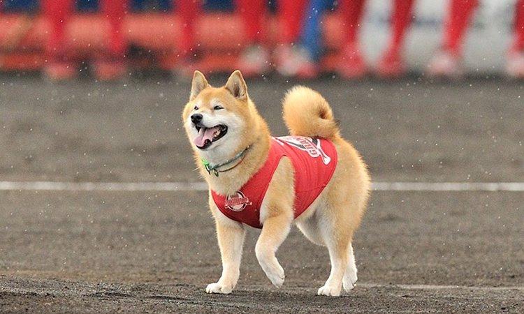 柴犬ベースボール犬わさび「日本動物大賞・審査委員特別賞」受賞!