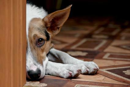 高齢犬の痴呆症の介護の注意点。痴ほうを回避する方法