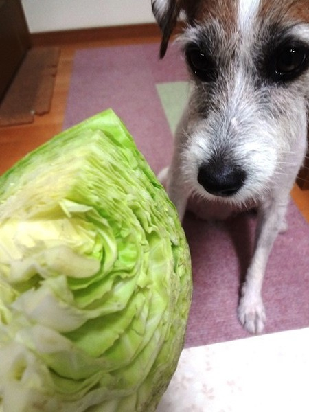犬はキャベツを生で食べても大丈夫!芯は外してあげましょう
