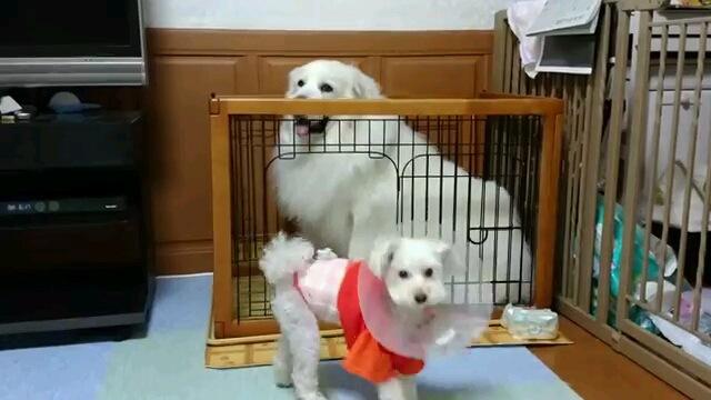 みっちり!怯えて小型犬用ハウスに避難するグレートピレニーズ