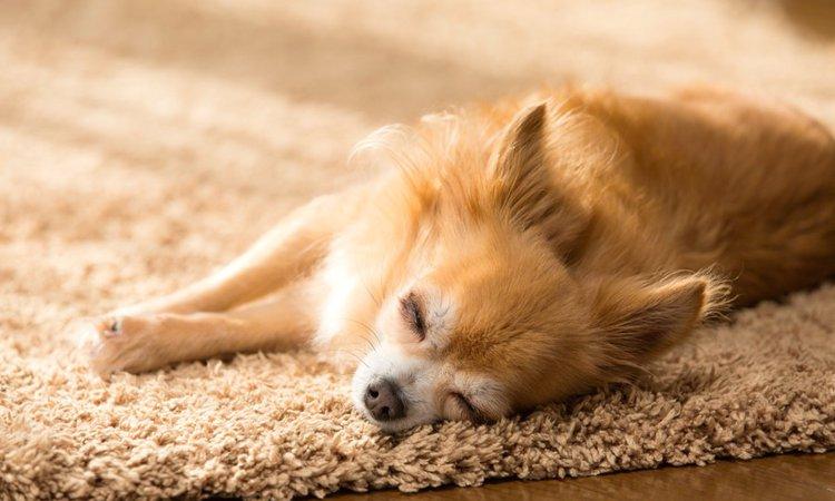 犬が寝てる時によく見せる7つの仕草や行動